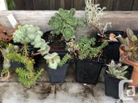 Too many plants! Tender and hardy succulents from $! to