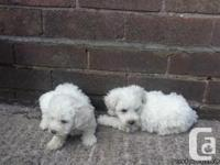 Super adorable Maltese Puppies. So gentle and