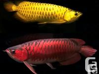 Grade A Arowana available best quality NEW ARRIVAL . We