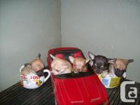 """We have 2 litters of """"T"""" cup size Chihuahua Puppies"""
