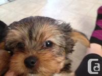 2 little teacup yorkie siblings are searching for