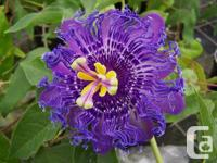 These are stunning purple passion flowers. They bloom