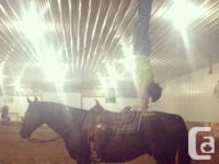 -Ten year old black half-Arabian/half-Quarter-Horse