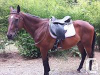 20 year old thoroughbred gelding for sale. Forward
