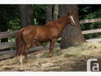 Very Talented Jumper mare~ Beautiful 15.2hh 16 year old
