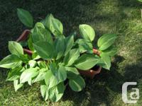 seven varieties of lovely hostas, different daylilies,
