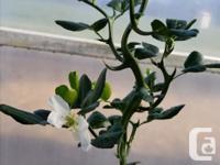 The fascinating trifoliate orange citrus plants grow