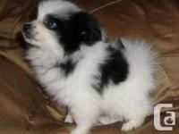 Beautiful Pomeranian puppies just turned 13 weeks and