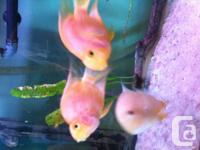 Seeking great home for 2 common orange parrot fish.