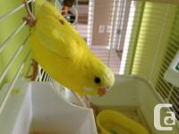 Hi, I have 2 budgies for sale, a yellow female and a