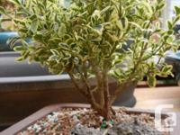 Variegated Boxwood Bonsai, evergreen, small rounded