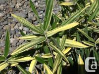 I have about 10 pots of variegated dwarf bamboo for
