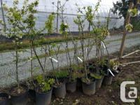 All trees are $30 Fruit Trees 2 Macspur 1 Liberty 1