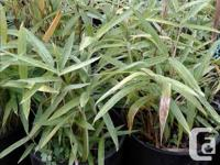 Black bamboo, variegated bamboo, some tall growing and