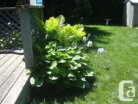 I have a Very Large Mature Hosta Perennial for sale!
