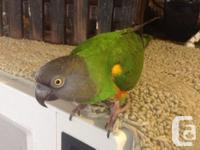 I have to sell my sweet baby Senegal. He is super tame