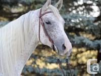 For Sale 15 hand Well broke Arabian Gelding. Set for