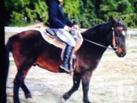 Welsh cob 13'3 840 lbs excellent sturdy equine good