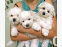 They are the cutest Teacup Maltese puppies. And not