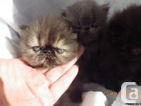 Impressive Purebred Persian kittycats available We are
