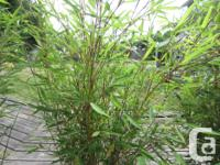 Yellow clumping bamboo in 10 gall pots. The price is