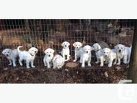 Gorgeous purebred Yellow Lab Puppies All puppies are