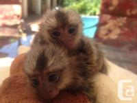 zx Free Baby pygmy Marmoset monkeys for adoption